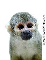 Common squirrel monkey on white