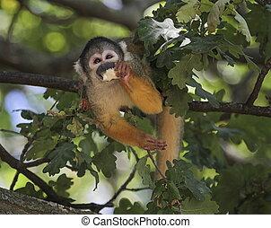 Common squirrel monkey, saimiri sciureus