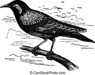 Common Starling or European Starling or Sturnus vulgaris, vintage engraving