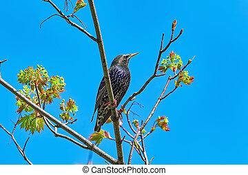Common Starling (Sturnus Vulgaris) Perching on the Branch