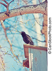 Common Starling - Sturnus vulgaris