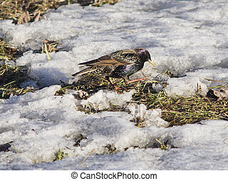 Common starling, sturnus vulgaris, walking in snow, selective focus