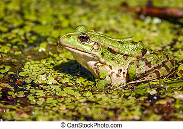 Common swamp frog