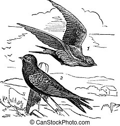 Common Swift or Apus apus, vintage engraving. Old engraved illustration of Common Swift female (1) flying and male (2) waiting on a branch.