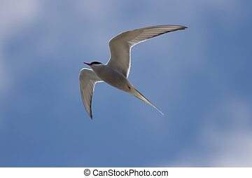 A common tern - Sterna hirundo with a blue sky