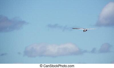 Common Tern (Sterna hirundo hirundo) flying against clouds,...