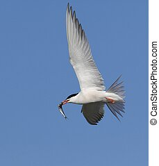 Common Tern with fish in flight. - Common Tern (Sterna...