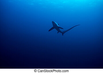 Common thresher shark - Thresher shark viewed from below...