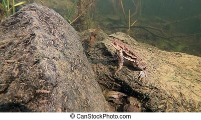 Common toad or European-toad, Bufo bufo in natural environment, underwater on spring,  Czech Republic, Europe wildlife