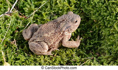 common toad (Bufo bufo) jump