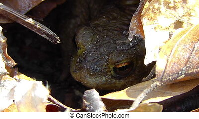 Common toad - Bufo - foliage - Common toad - Bufo - hidden...
