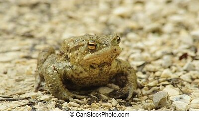 Common toad  - Common toad