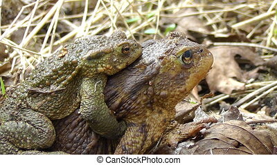 Common Toad - copulation - Toads in mating - females...