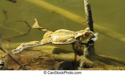 Common toad in a pond