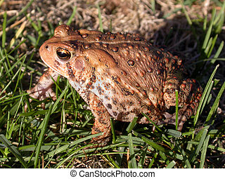 common toad in the grass 2 of 3 - a common toad in the...