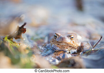 Common toad in water