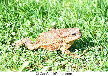 Common toad on the way in grass