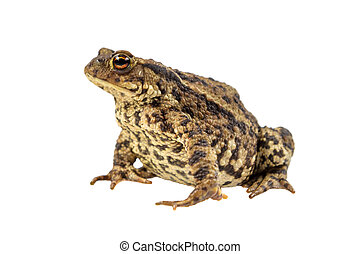 Common toad on white - European common toad (Bufo bufo)...