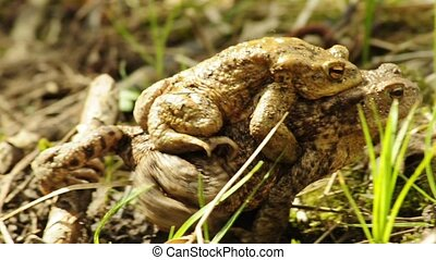 Common toad with partner on a back walking to a pond