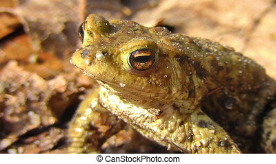 Common toad - sunbathing - Common toad - Bufo - sunbathing