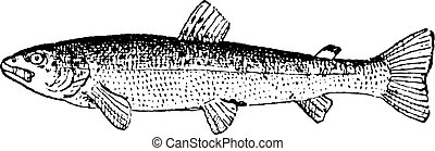Common Trout or Salmo trutta, vintage engraving
