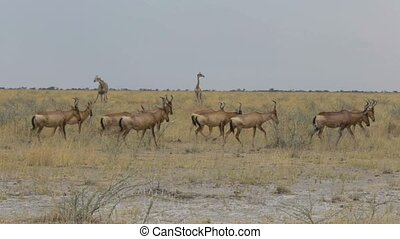 Common Tsessebe (Damaliscus lunatus) in natural setting,...