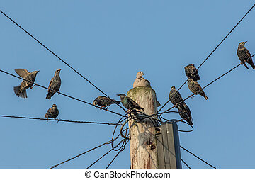 Common urban bird pests. Pigeon and starlings on telegraph pole wires. Nuisance animals that are considered as vermin.