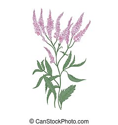 Common verbena flowers isolated on white background. Detailed drawing of wild perennial flowering herb used as medicinal plant in herbalism. Realistic hand drawn vector illustration in antique style
