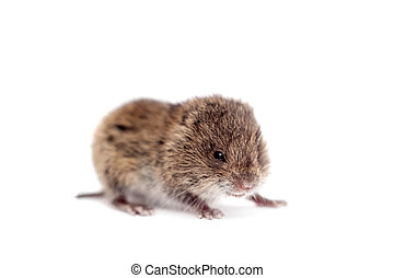 Common Vole, 3 weeks old, on white - Common Vole, Microtus...