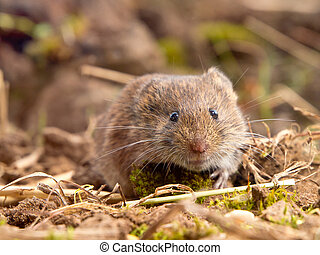 Common Vole (Microtus arvalis) in natural habitat - Common...