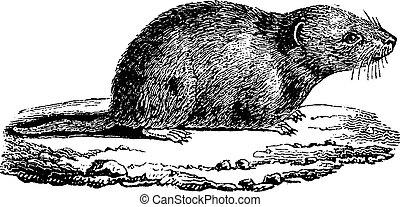 Common vole, vintage engraving.