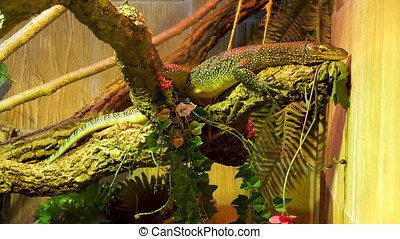 Common wall lizard in terrarium at the zoo