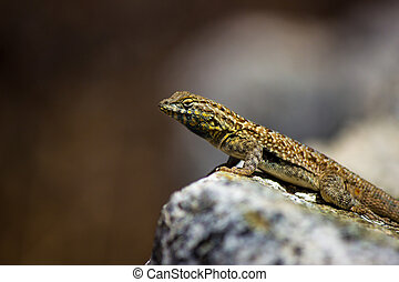 Common wall lizard posed on a rock