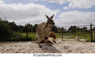 Common wallaroo australia kangaroo on a sunny day with...