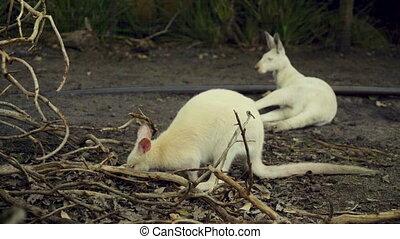 Common wallaroo small white kangaroo eating leaf - A common...