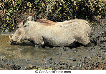 Common Warthog (Phacochoerus Africanus) in Mud Drinking Water, Serengeti, Tanzania
