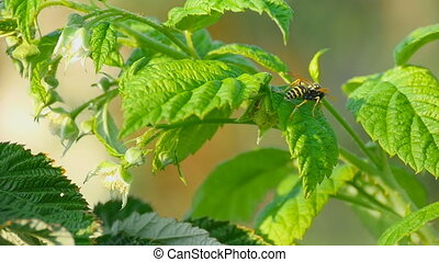 Common Wasp ( Vespula vulgaris) - Wasp of the garden on a...