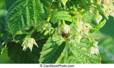 Common Wasp -Vespula vulgaris- - Wasp of the garden on a...