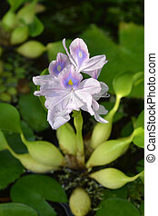Common water hyacinth - Latin name - Eichhornia crassipes