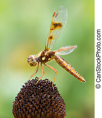 Profile Portrait of a Common Whitetail Dragonfly