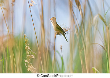 common whitethroat singing on reed
