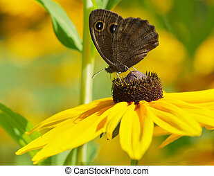 Common wood nymph. - Macro image of a beautiful Common Wood-...