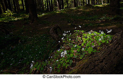 Common Wood Sorrel Blossom Oxalis Acetosella in Summer ...
