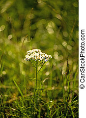 common yarrow, medicinal herb in a meadow in Germany