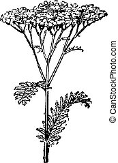 Common Yarrow or Achillea millefolium, vintage engraving - ...