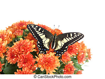 Common Yellow Swallowtail with wings open on mums