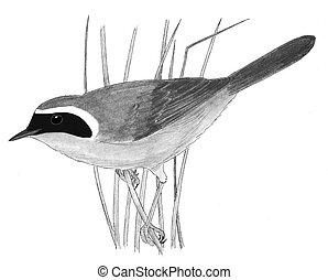 Common Yellowthroat - Geothlypis trichas - male