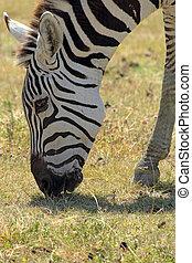 Common zebra grazing