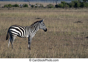 Common zebra  standing  on dried grassland