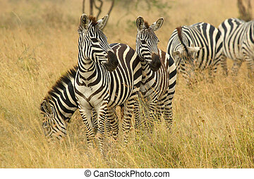 Common zebras grazing in savannah - A herd of common zebras,...